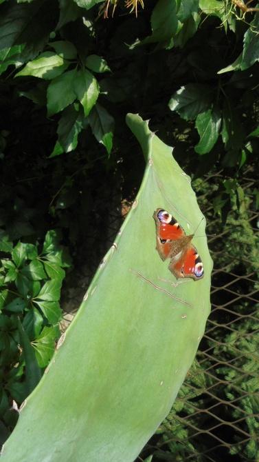 Inny usiadł na liściu agawy