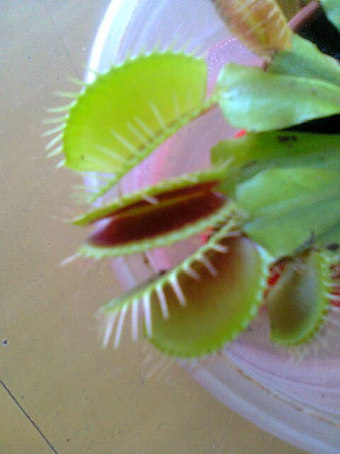 Muchołówka szczęki ;)