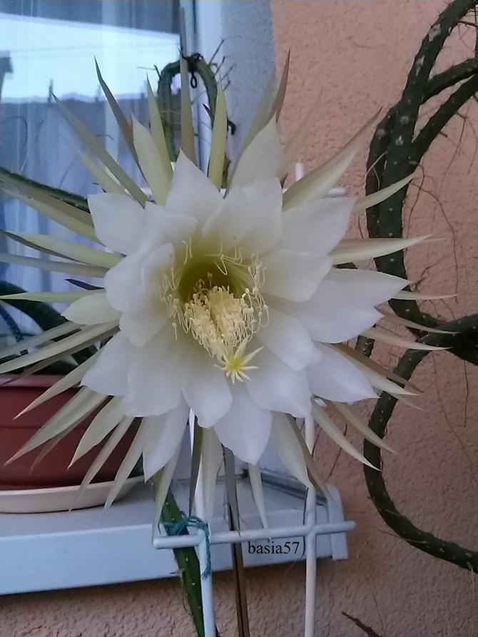 Selenicereus, już ostatni jego kwiat w tym roku