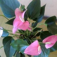 Anturium andreego różowe prezent