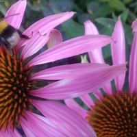 bardzo chętnie odwiedzane przez motyle i trzmiele