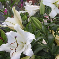 Białe lilie...