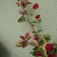 Bougenvillea variegata