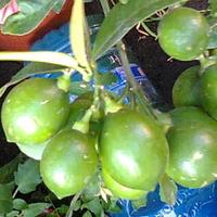 Cytryna Meyera owoce podrosły
