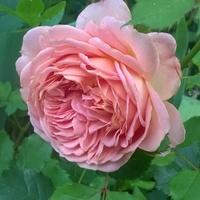 Drugie kwitnienie