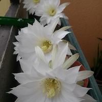 Echinopsis subdenudata, biało i pachnąco.