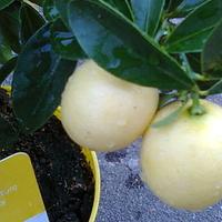 Limonella owoce dobre do zjedzenia