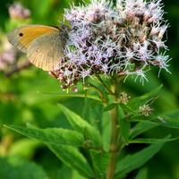 miododajna roślina i motyl