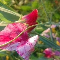 nowa odmiana w naszym w ogrodzie