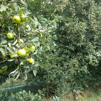 ogromne jabłonie chyba