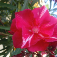 oleander...
