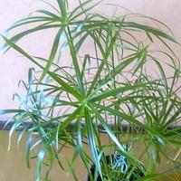 Papirus rośnie
