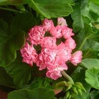 Pelargonia Australian Pink