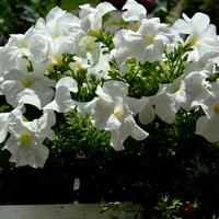 Petunie białe na moim balkonie