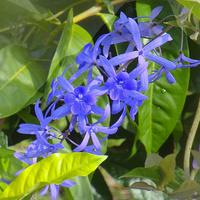 Pnącze z tropiku