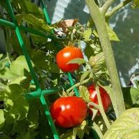 pomidorki balkonowe ....