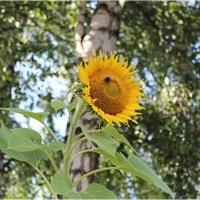 Słonecznik chce dorównać brzozom...