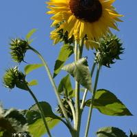 Słonecznik z liśćmi ozdobnymi i łodygami