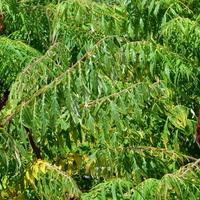 sumak, octowiec - płożący