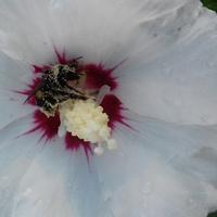 trzmiel w hibiskusie