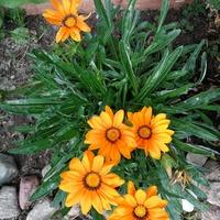 Uśmiechają się do słońca - kwiaty gazanii