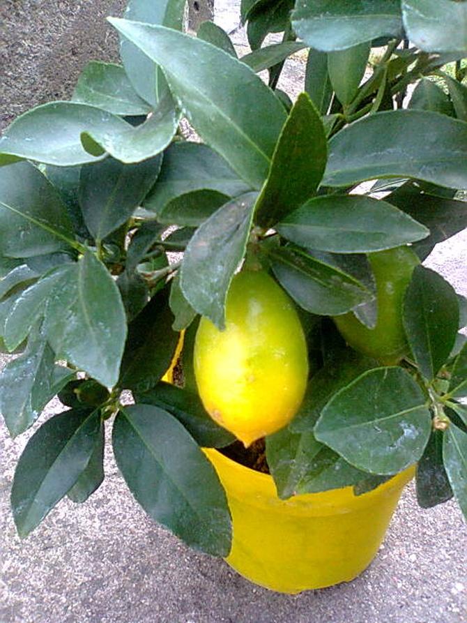 Limequat owoc już dobry do zjedzenia
