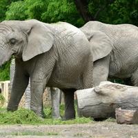 12 sierpnia Światowy Dzień Słonia