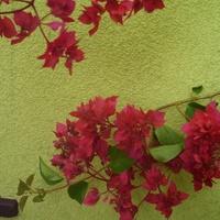 Czerwono różowe pełne kwiaty.
