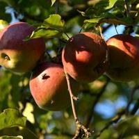 Dojrzewają jabłka