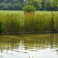 Dużo pałek nad wodą w parku
