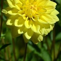 Elegantka w żółtym kolorze