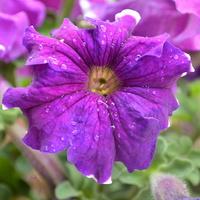 fioletowa petunia