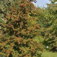 Głóg, drzewo w O.B.