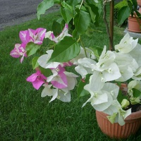 Kwitnie w dwóch kolorach, czasem tylko na biało.