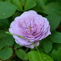 Róża kolorowa