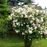 Róża........