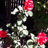 Róże..........