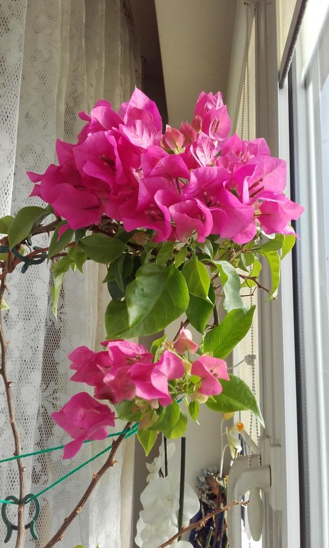 Drugie kwitnienie Bugenwilli