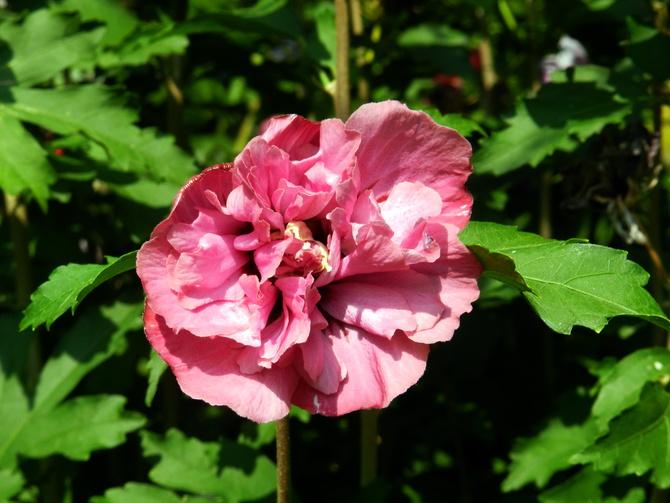 Hibiskus,róża chińska