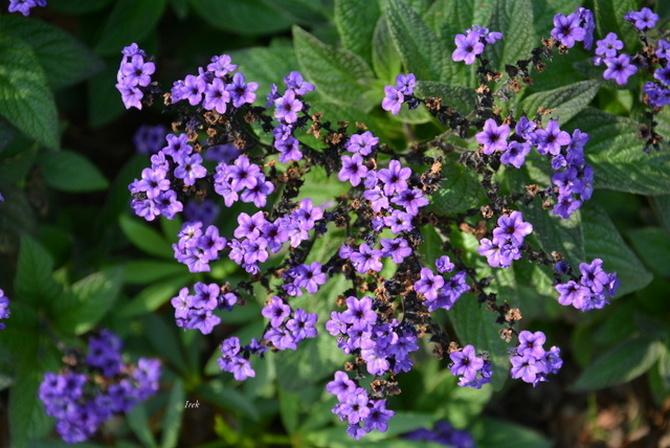 Kwiaty w parku w Żelazowej Woli.