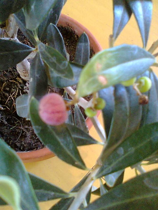 Oliwka europejska (Olea europaea) owoc dojrzewa