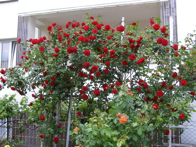 Pnąca róża Santana