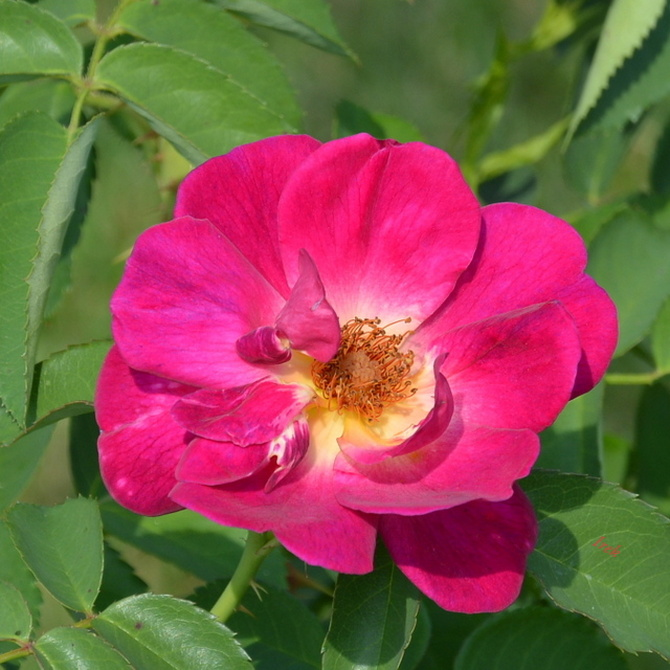 Wysyłam Wam pachnącą różę