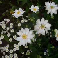 Biały zawilec o półpełnych kwiatach.