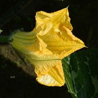 Kwiat dyni