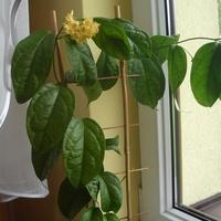 Kwitnąca na żółto Linusii
