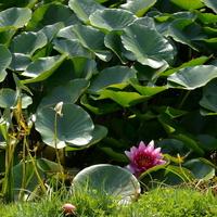 Lilia wodna w stawie w Żelazowej Woli