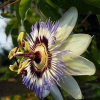Pasiflora,męczennica