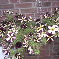 Petunia dwu kolorowa