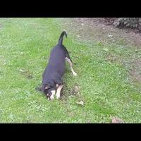 Pies ogrodnik